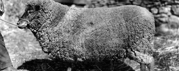 Merinoschaf Wollproduktion für Socken aus Merinowolle