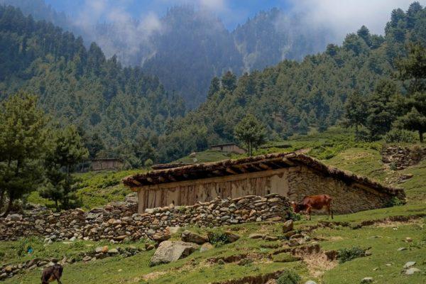 Kaschmir Ziegen am Hang eines hohen Berges.