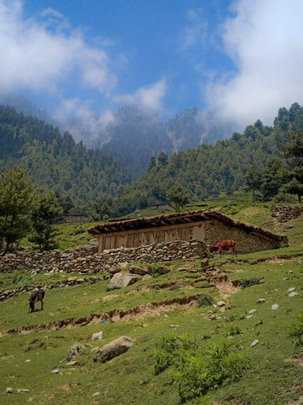 Cabras de Cachemira en la ladera de una montaña alta.
